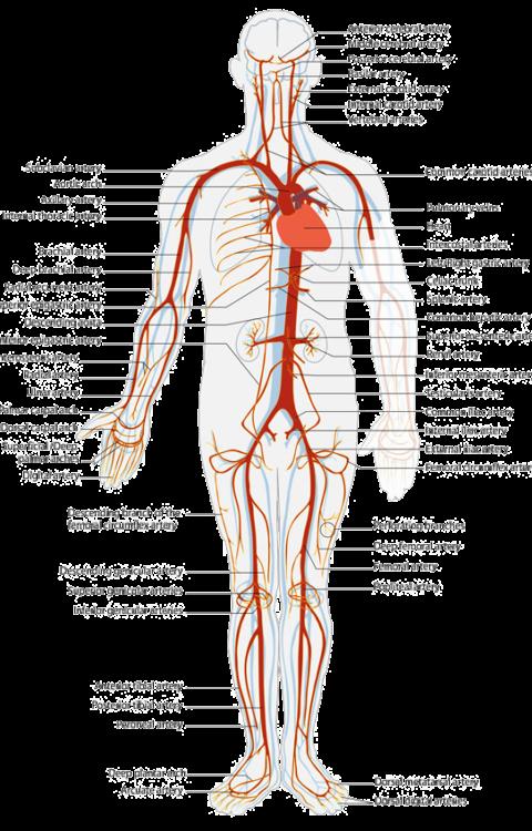 artery